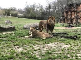 imagenes de leones salvajes gratis fotos gratis naturaleza animal fauna silvestre salvaje zoo