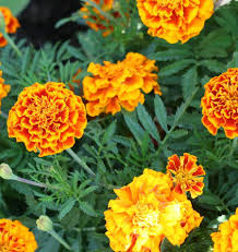 top 10 flowers to repel bugs and other pests garden pics and tips