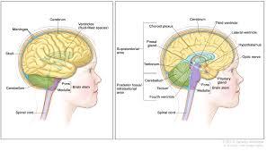 brain anatomy coloring book childhood brain stem glioma treatment pdq u2014patient version