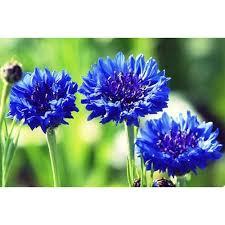 cornflower blue cornflower blue centaurea cyanus boondie seeds