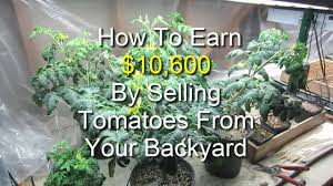 earn 10 600 by selling tomatoes from your backyard youtube