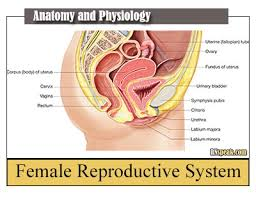 Anatomy Of Female Reproductive System Anatomy And Physiology Archives Nursing Journal
