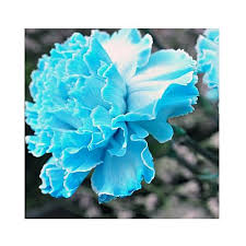 blue carnations buy the nursery blue carnations flower seeds online at best price