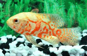 aquarium fishes freshwater fish tropical fish ornamental fish