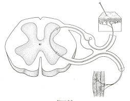 Relex Arc Byron Mouen U0027s Anatomy Blog Reflex Arc