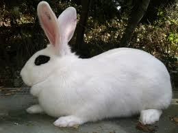 blanc d u0027hotot u2013 trickster hares