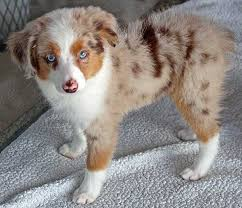 australian shepherd miniature mini australian shepherd puppy for sale in boca raton south florida