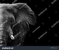 powerful image elephant black white stock photo 550745755
