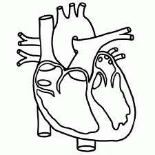 6 best images of anatomical heart outline printable human heart