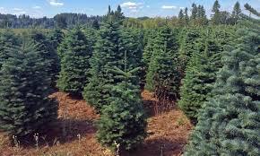 noble fir christmas tree noble fir tree christmas trees moon valley nurseries christmas trees