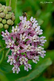 idaho native plants 139 best favorite wildflowers and wildflower gardens images on
