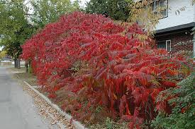 staghorn sumac rhus typhina in denver centennial littleton