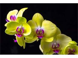 yellow orchid ideas of yellow orchid flower pictures