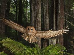 Barn Owls Habitat Northern Spotted Owl National Geographic Society