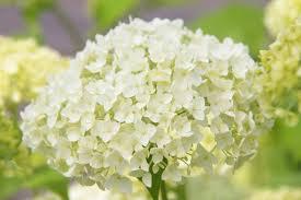 White Hydrangeas Hydrangea Arborescens U0027annabelle U0027 Smooth Hydrangea