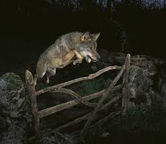 Three Wolf Moon Meme - wildlife prize winning photo is a fake treehugger