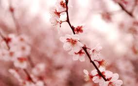 lovely cherry blossom wallpaper 2560x1600 23207