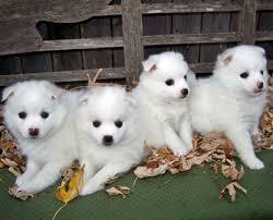 types of american eskimo dogs american eskimo dog once a popular circus dog