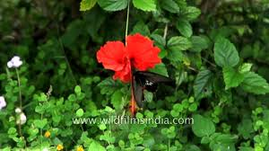 redbreast butterfly on hibiscus flower motion filming