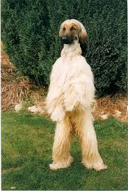 afghan hound stupid komar afghan hounds goofy dogs are better than people