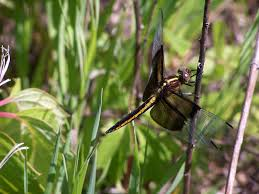 nature notes dragonflies and more prairie flowers