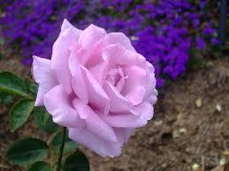 file purple rose1 jpg wikimedia commons