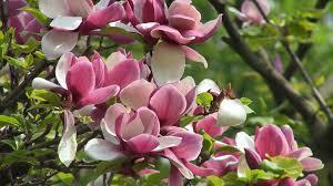 Magnolia Wallpaper Spring Desktop Wallpaper Tree Spring Beautiful Flowers Desktop