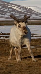 best 25 svalbard reindeer ideas on pinterest norway reindeer