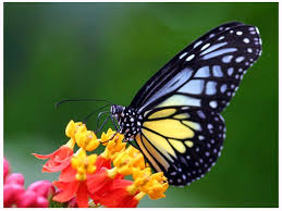 free blue and yellow butterfly wallpaper the free blue