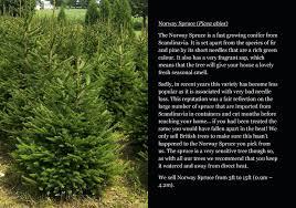 small spruce trees blue sale transplanting jeanbolen info