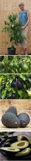 What Fruit Trees Grow In Texas - 30 best fruit u0026 citrus trees images on pinterest fruit trees