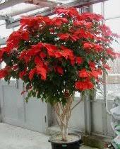 poinsettia tree watering christmas poinsettias