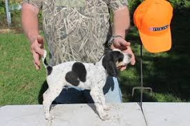 bluetick coonhound sale view ad bluetick coonhound puppy for sale texas college station