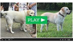 dog weight loss dog weight loss diet plan overweight dog food