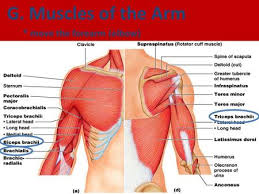 Shoulder And Arm Muscles Anatomy Limb Muscles Upload U201c8 24 Limb Muscle Worksheet U201d To Ebackpack