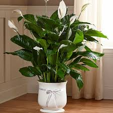 funeral plants the ftd comfort planter