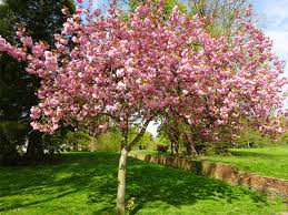 cherry blossom tree facts the symbolism of the cherry blossom the meaning of cherry blossoms