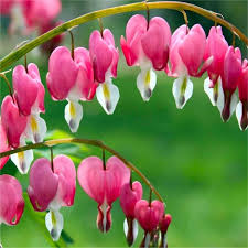 bleeding heart flower deal dicentra spectabilis lrocapnos bleeding heart plant