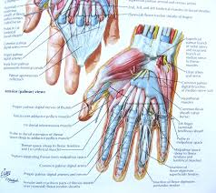 anatomy of forearm and hand choice image learn human anatomy image