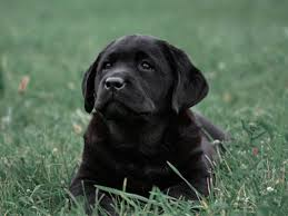 afghan hound and labrador retriever 10 things only a lab owner would understand american kennel club