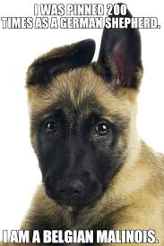 belgian shepherd wolf mix i found this on google belgian malinois owners are getting