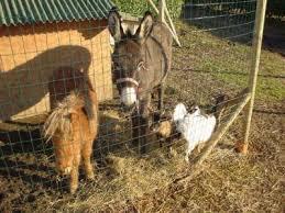 animali da cortile in regalo mangime pollaio