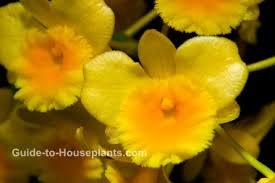 Dendrobium Orchid Dendrobium Orchid Care Tips