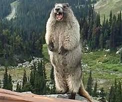 Groundhog Meme - screaming marmot know your meme