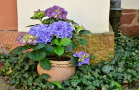 free images botany flora hydrangea bucket flowers plant pot
