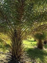 sylvester palm tree sale sylvester palm trees for sale ebay