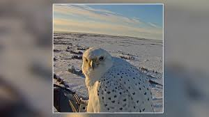 northern lights live cam gyrfalcon returns to live cam for closeups story fox 13 ta bay