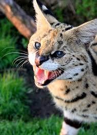 Morpheus Cat Meme - male serval morpheus and partner penelope