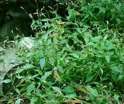 native plants in pennsylvania medicinal plants pennsylvania smartweed