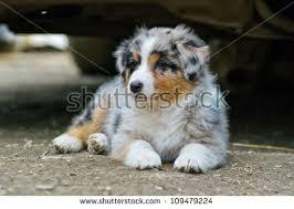 australian shepherd puppies queensland australian shepard stock images royalty free images u0026 vectors
